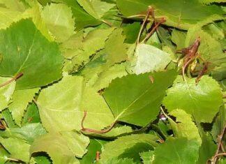 frunze de mesteacan